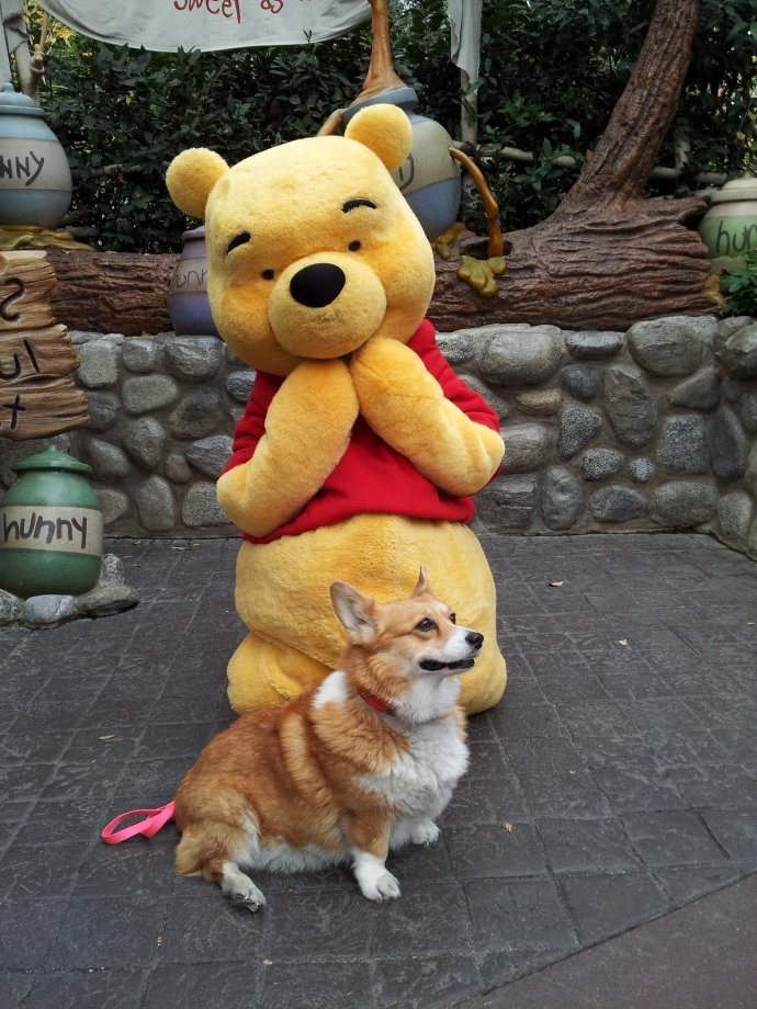 Pancake the Corgi tries to out Pooh-Bear Pooh.