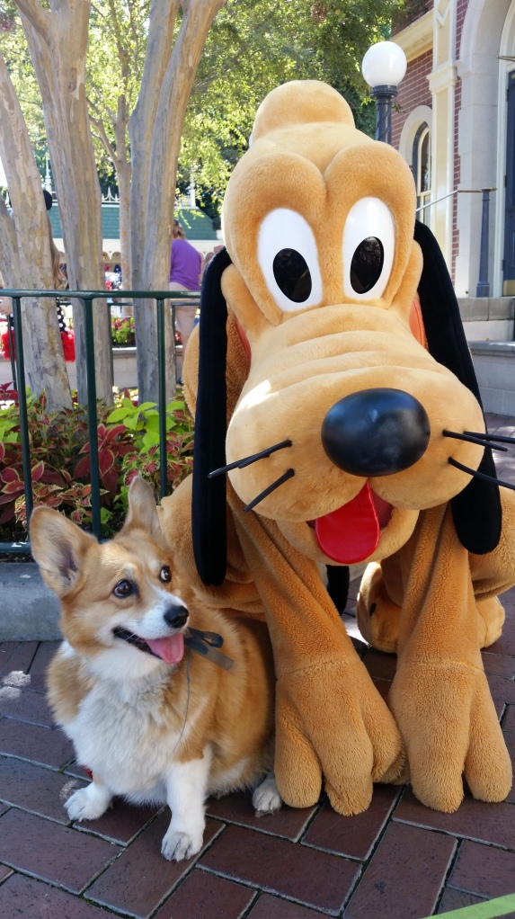 Pancake the Corgi at California Adventure with Pluto