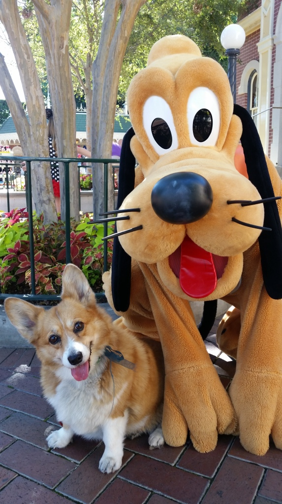 Pancake the Corgi at Disney's California Adventure and Pluto